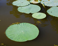 Lotus Pad with Droplets