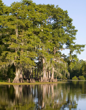 Cypress Trees in River 2