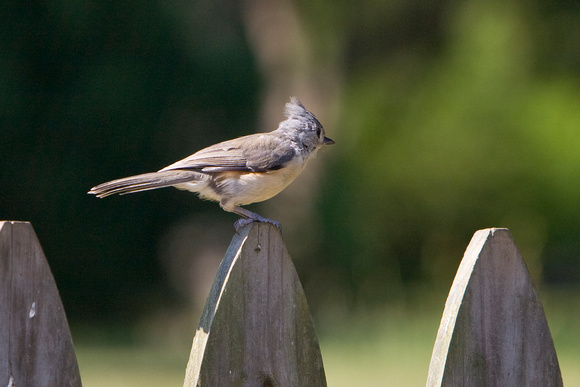Titmouse on Fence